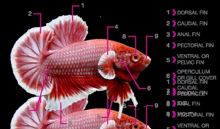 betta_fish_anatomy
