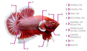 betta_fish_anatomy