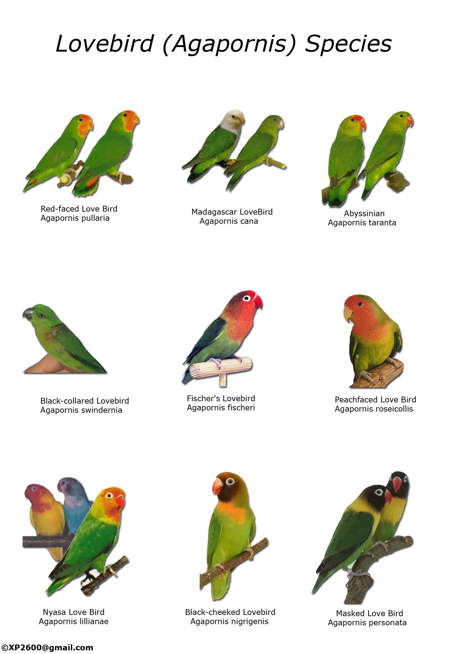 lovebirdtypesyp5